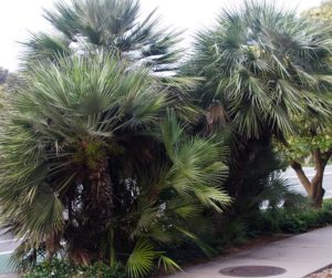 Street Grouping Of Mediterranean Fan Palms - Encinitas, CA