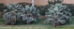 Zone Hardy Palms