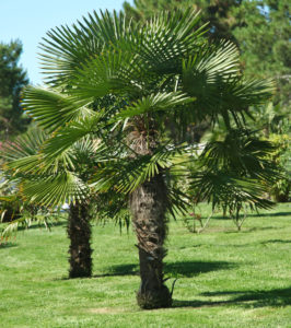 Windmill Palms In a Park Setting