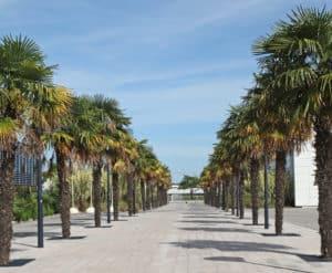Windmill Palms Lining Walkway