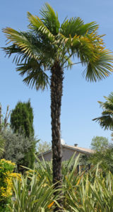 A Trimmed Up WIndmill Palm