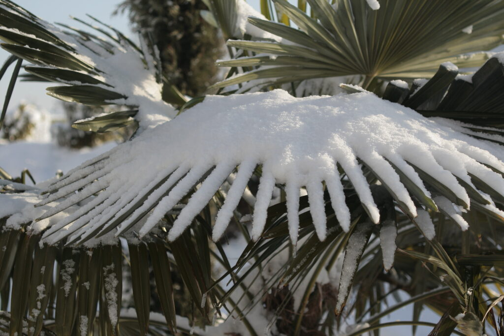 Growing Windmill Palm Trees