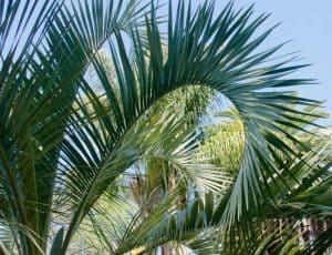 Pindo Palm Fronds - Berkeley, CA