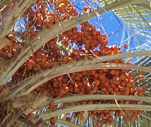 Pindo Palm fruit - Sacramento, CA