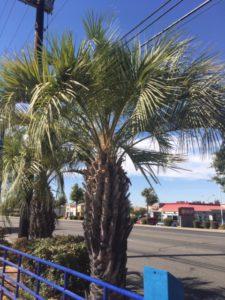 Pindo Palm - Sacramento, CA