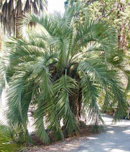 Large Pindo Palm, UC Botanical Garden at Berkeley