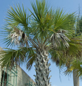 Sabal Palmetto Frond Crown