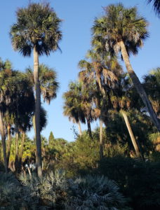 Mature Group Of Sabal Palmetto