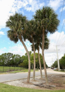11 Incredibly Hardy Palm Trees For Zone 8 - Sabal Palmetto