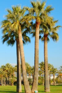 Mature Washingtonia Filifera palms