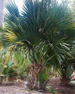 Sabal Bermudana, San Diego Botanic Garden