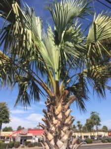 Sabal Palm in Sacramento, CA