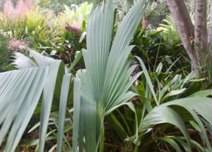 Sabal Minor at the San Diego Botanic Garden