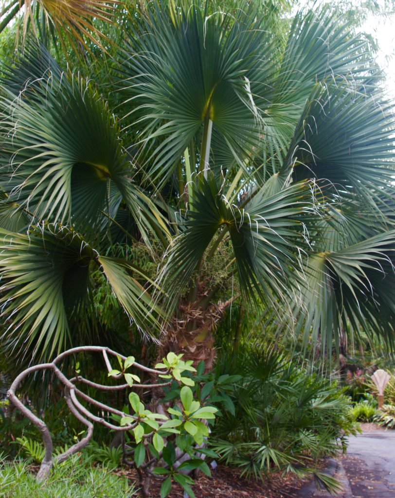 what is a sabal palm zone hardy palms