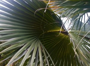 Close-Up Of a Sabal Palmetto Frond - San Diego Botanic Garden
