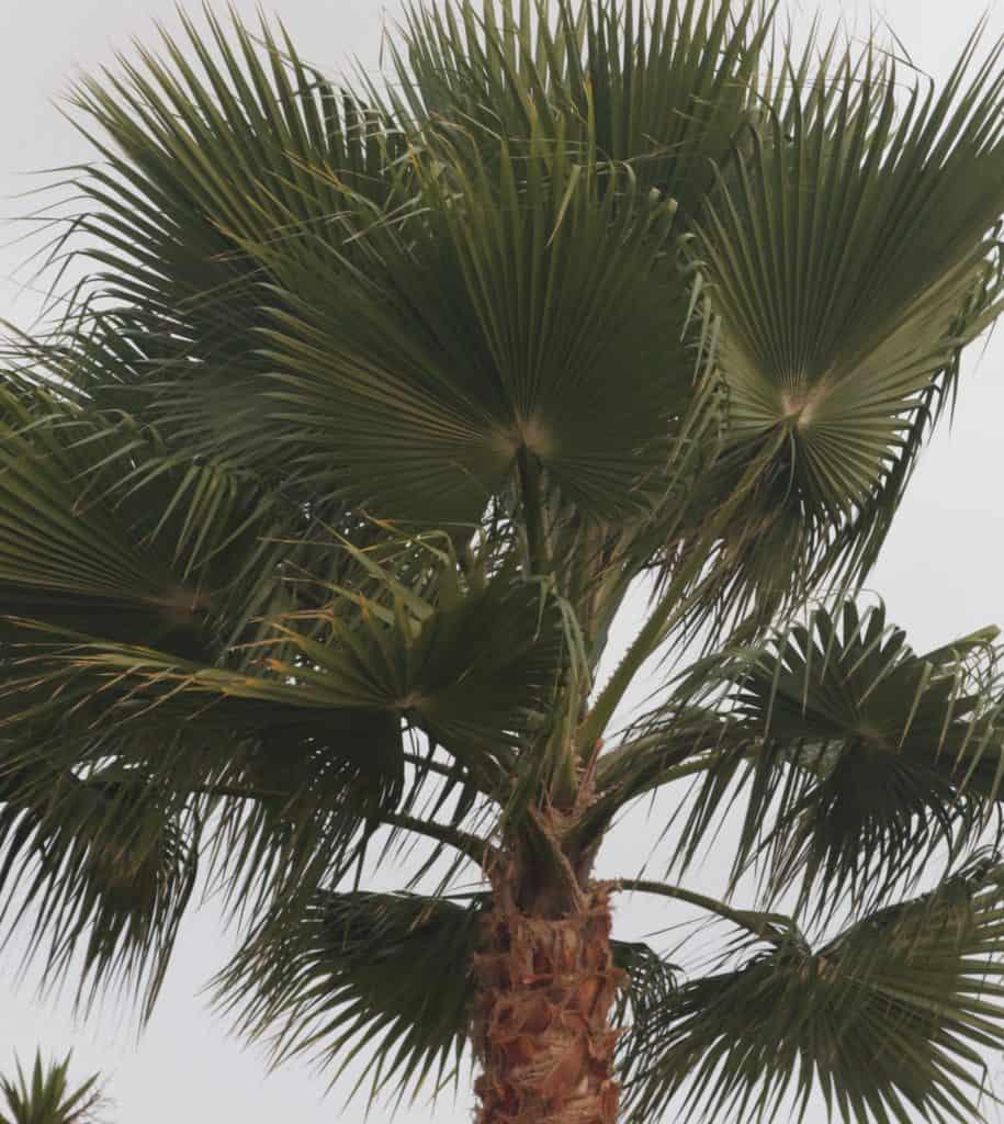 Washingtonia Robusta vs. Filifera- Mexican Fan Palm