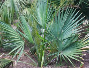 Palm Trees For Zone 7 - Sabal Minor