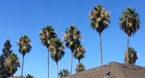 Mature Washingtonia Robusta palm