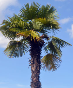 Palm Trees For Zone 7 - Windmill Palm