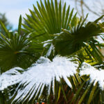 Palm Trees for Zone 7- Windmill Palm in Snow