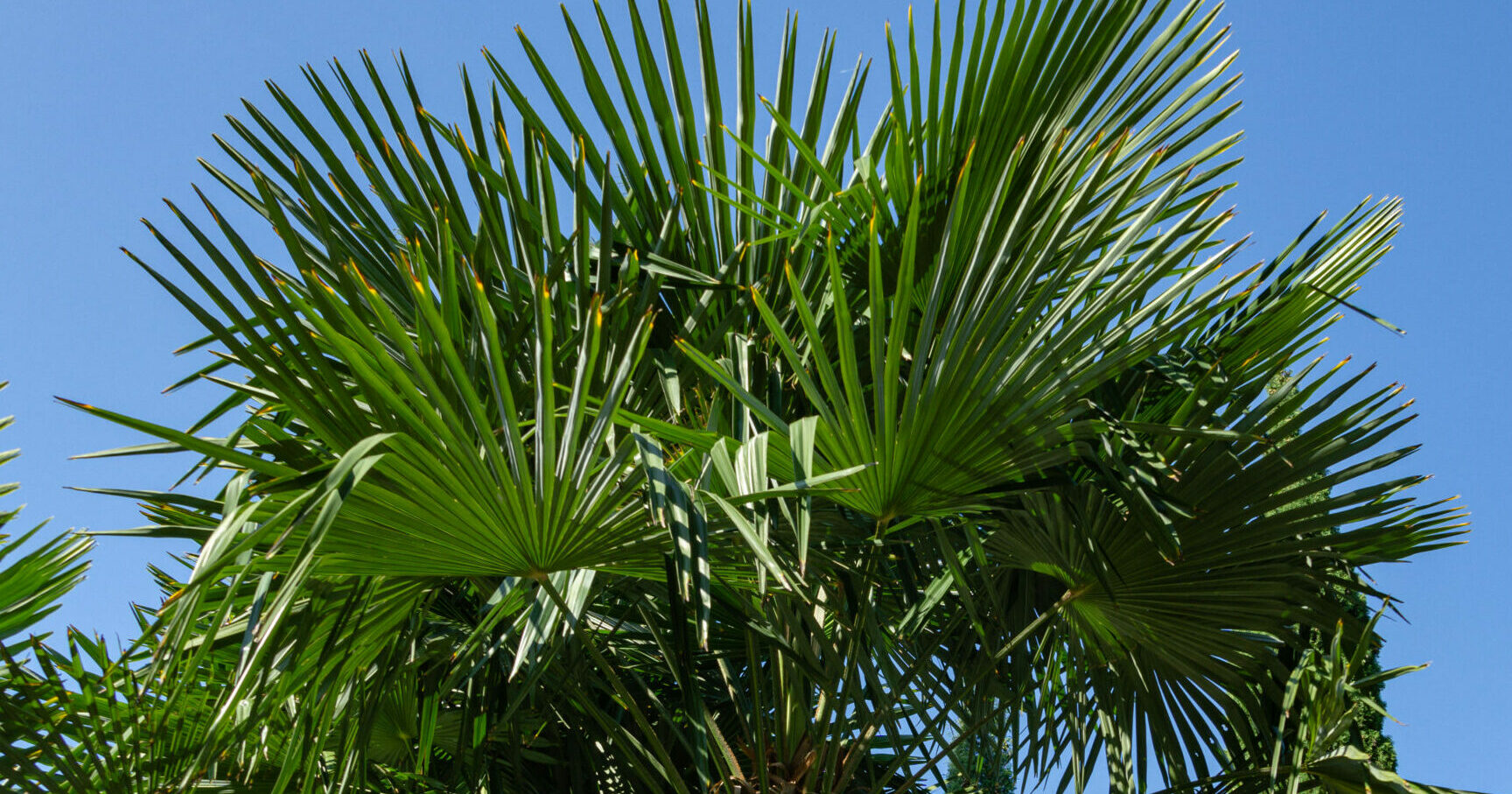Growing Windmill Palm Trees- Chinese windmill palm (Trachycarpus Fortunei)