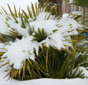 Palm Trees For Zone 7 - Needle Palm In Snow