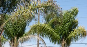 Queen Palms In Sacramento, CA