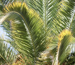 How To Fertilize Palm Trees - Yellowed Fronds