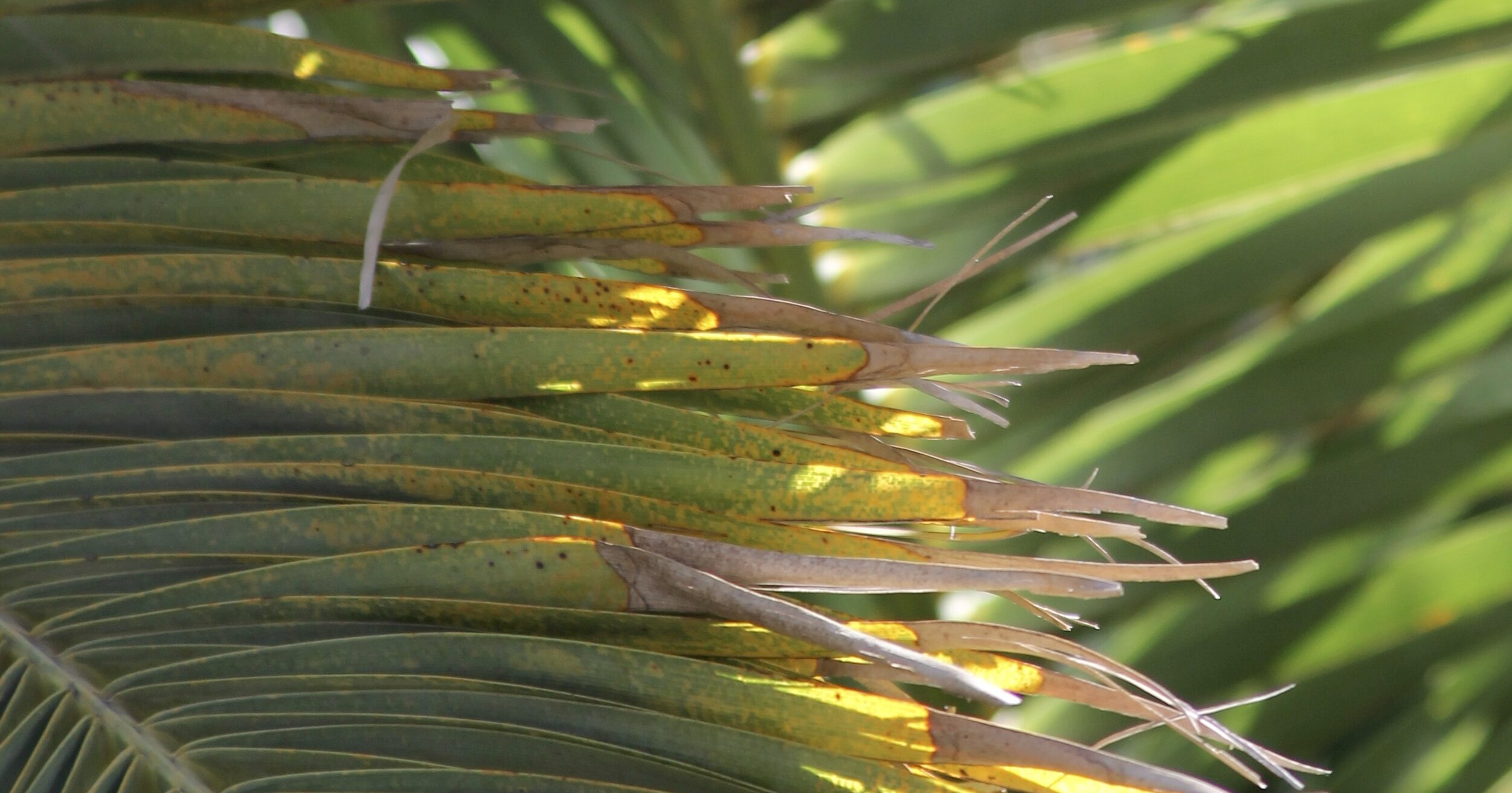 How To Fertilize Palm Trees- Palm Fronds