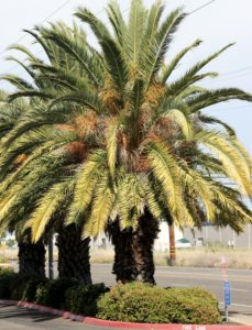 How To Fertilize Palm Trees