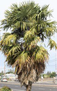 Nutrient Deficient WIndmill Palm