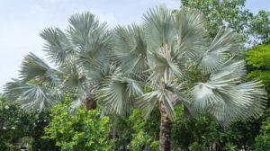 Silver Bismarck Palms Showing Color Contrast