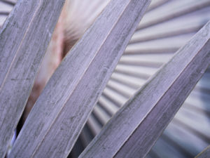 Silver Bismarck Palm Tree Frond Close-up