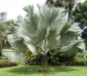 A Large Silver Bismarck Palm Tree (Bismarckia Nobilis)