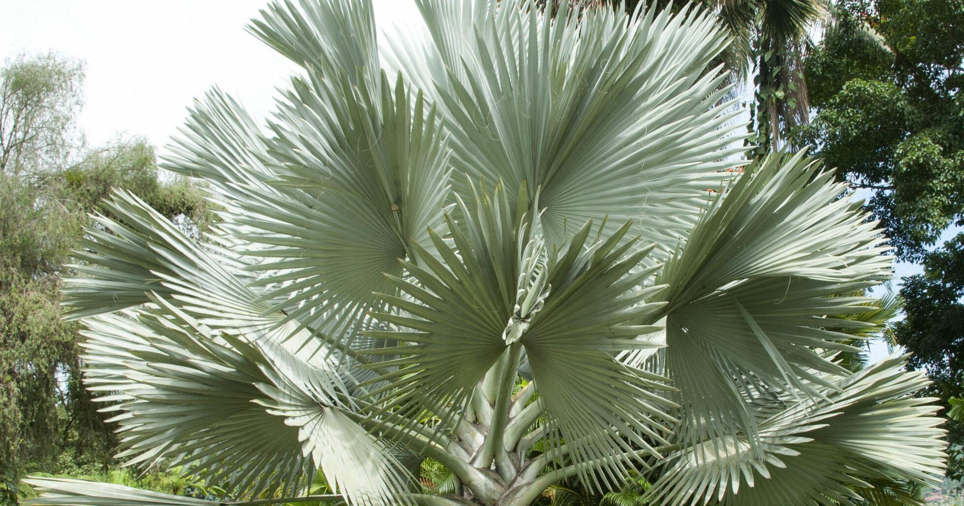 Silver Bismarck Palm Tree