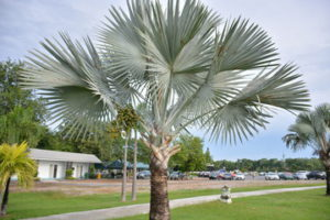 A Trimmed Up Silver Bismarck Palm Tree