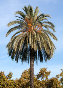 11 Incredibly Hardy Palm Trees For Zone 8 - Phoenix Canariensis