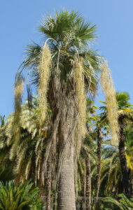 11 Incredibly Hardy Palm Trees For Zone 8 - Brahea Armata