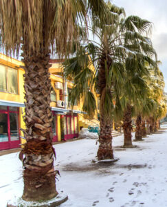 "Washingtonia ""Filibusta"" Hybrid In the Snow"