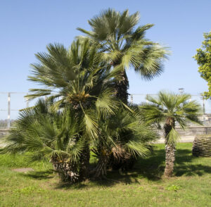 11 Incredibly Hardy Palm Trees For Zone 8 - Chamaerops Humilis