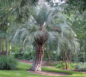 11 Incredibly Hardy Palm Trees For Zone 8 - Butia Capitata