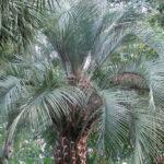 Pindo Palm Trees- Pindo Palm in South Carolina