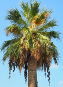 11 Incredibly Hardy Palm Tree For Zone 8 - Washingtonia Filifera