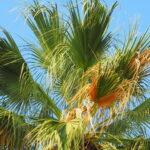 Palm Trees for the Desert- California Fan Palm