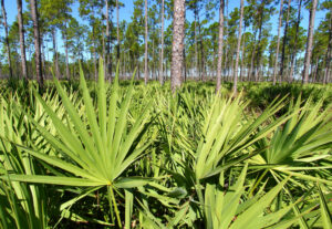 11 Incredibly Hardy Palm Trees For Zone 8 - Saw Palmetto