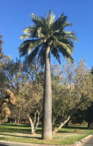 Palm Trees for Zone 8- Chilean Wine Palm