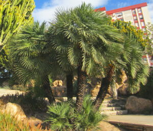 Grouping of Mediterranean Fan palms with suckers at the base.