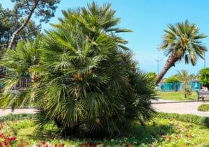 Mediterranean Fan Palm in Georgia