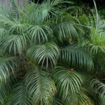 Palm Trees for Small Gardens- Pygmy Date Palm