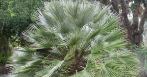 How Cold Hardy Are Mediterranean Fan Palm Trees?- Mediterranean Fan Palm